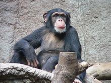 220px-Schimpanse_zoo-leipig